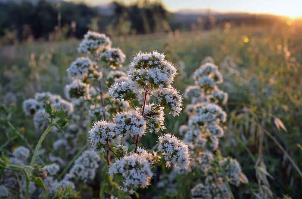 Origano-selvatico-montagna-calabria-biologico-aroma-spezie
